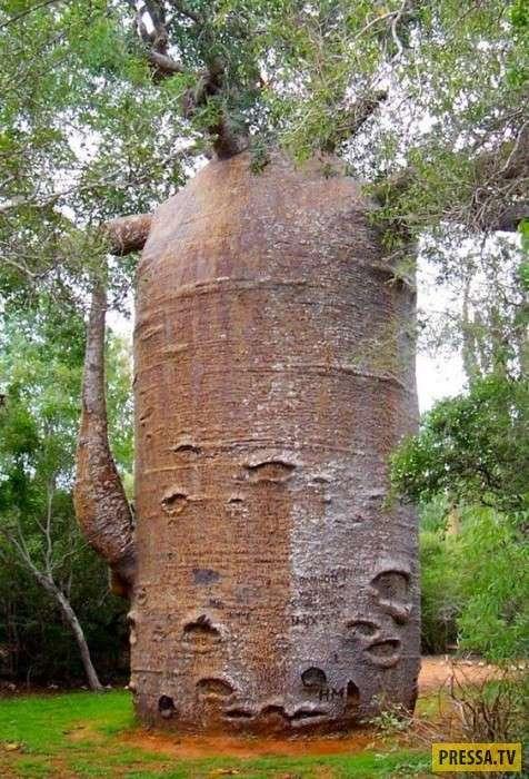 Странные деревья необычной формы с разных уголков мира (23 фото)