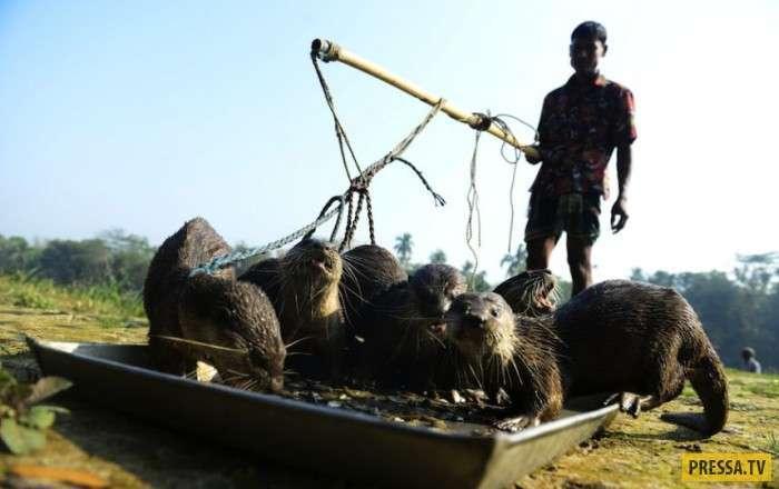 В Бангладеш дрессированные выдры ловят для людей рыбу (8 фото)
