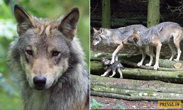В графстве Оксфордшир сотрудники зоопарка застрелили волчицу - мать пятерых волчат (7 фото + видео)