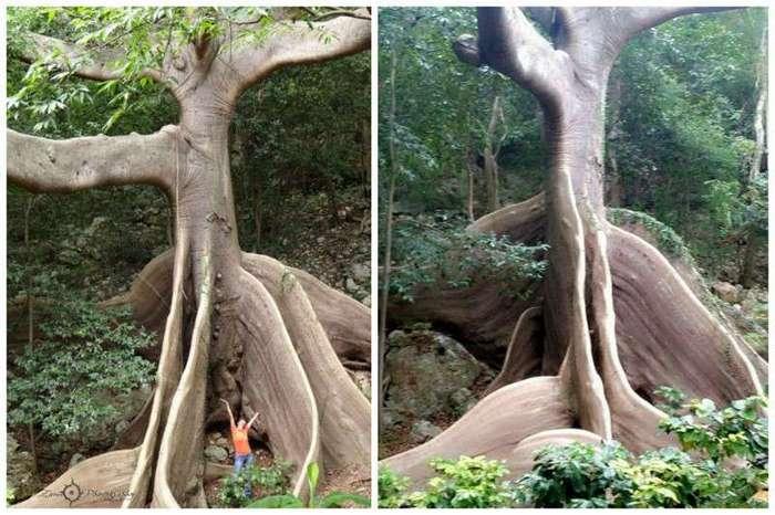 Потрясающие деревья нашей планеты (30 фото)