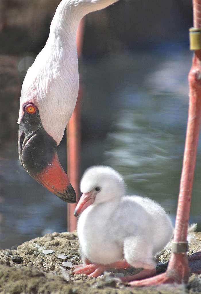 Кто-нибудь когда-нибудь видел детеныша фламинго? (9 фото)