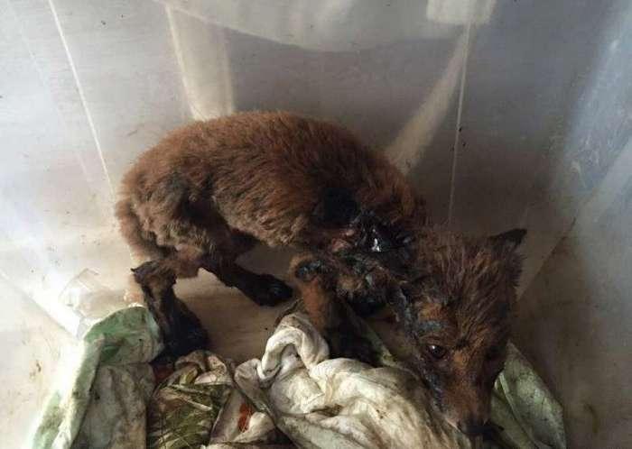 Уральцы спасли лисёнка, попавшего в яму с битумом (2 фото)