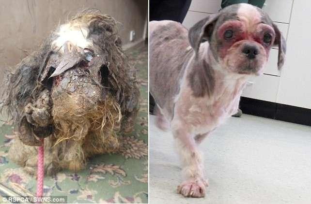 Когда волонтёры нашли эту собаку, они сначала даже не поняли что это! (5 фото)