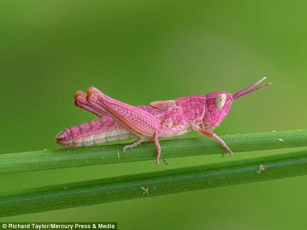 Удивительная природа: розовый кузнечик (5 фото)