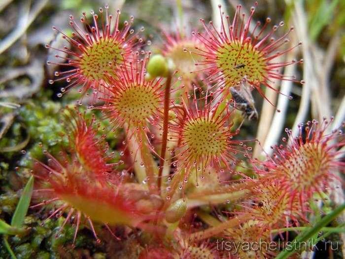 Осторожно, плотоядный цветок! Растения, которые кусаются (14 фото)