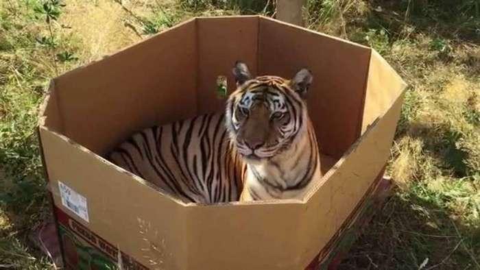 Все кошки своенравны, игривы и обожают коробки! размер тут не имеет значения! (21 фото)