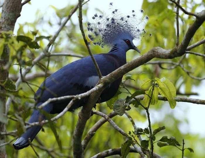 Необычные голуби со всего света (10 фото)