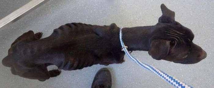 Британский суд запретил мужчине, который морил голодом свою собаку, заводить животных в ближайшие 10 лет (3 фото)