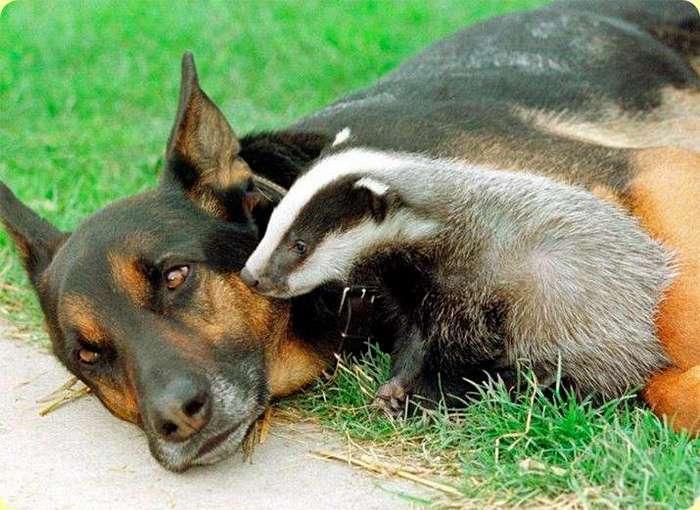 Трогательные случаи усыновления среди животных (22 фото)