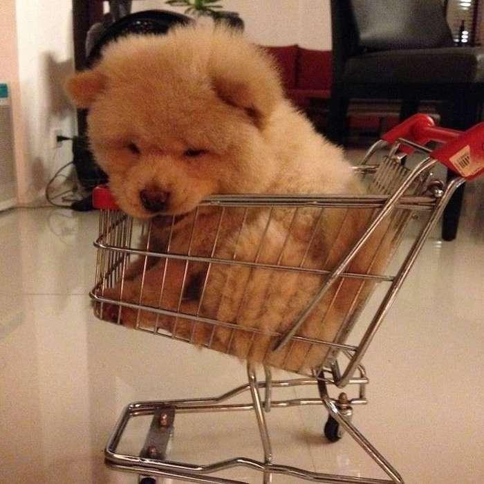 Очаровательный пес Чаудер, похожий на медвежонка (11 фото)