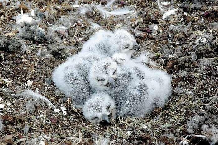 Забавные совята и их родители (16 фото)