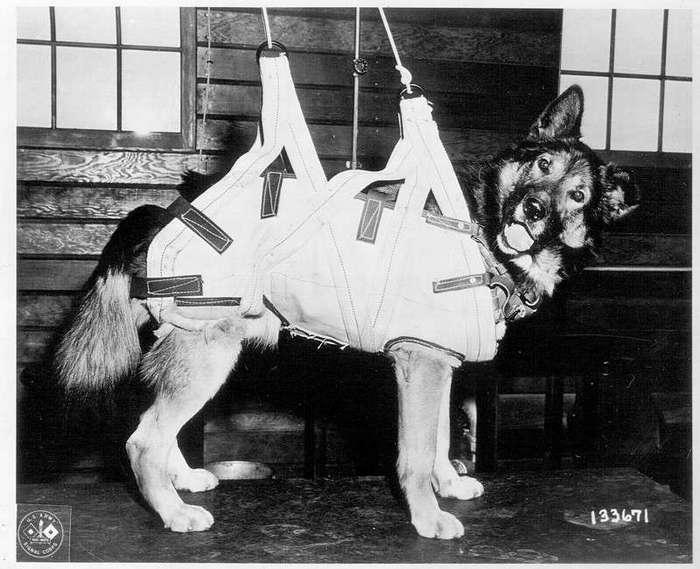 Собаки-парашютисты Второй мировой войны (9 фото)