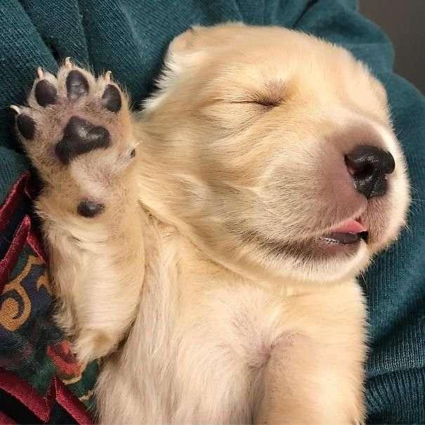 Милые щенки золотистых ретриверов (30 фото)