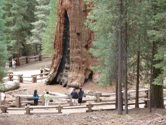Гигантское дерево - чудо природы! (4 фото)