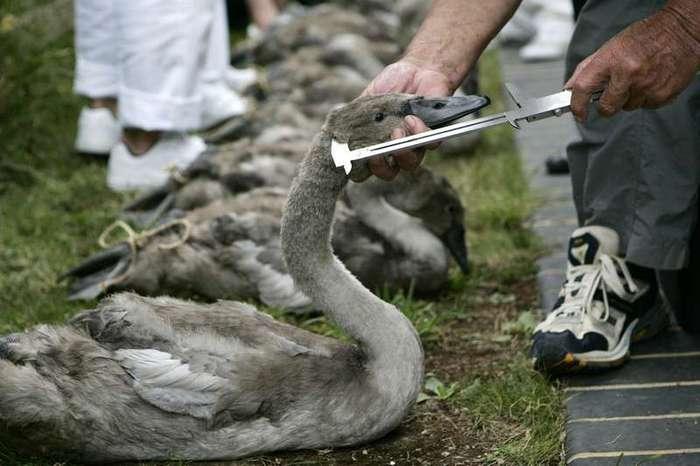 Лебедь - птица королевская! (21 фото)