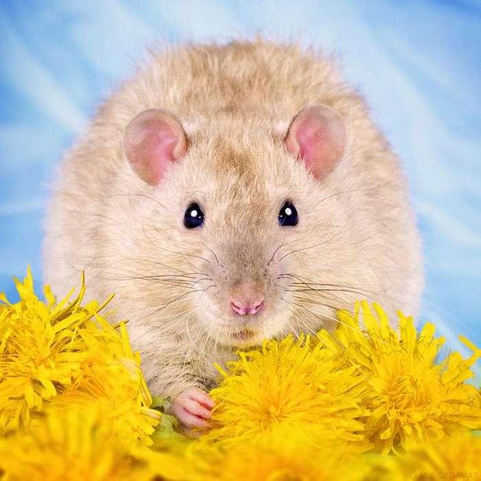 Очаровательные портреты, которые изменят ваше представление о крысах <br><br><b>10. <b>Весна</b></b><br><img class=