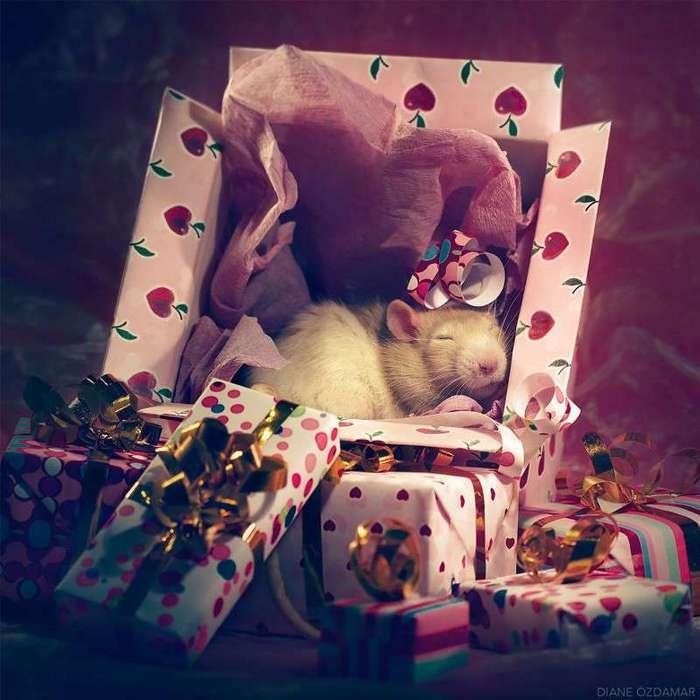 Очаровательные портреты, которые изменят ваше представление о крысах <br><br><b>12. <b>Сон в канун Рождества </b></b><br><img class=