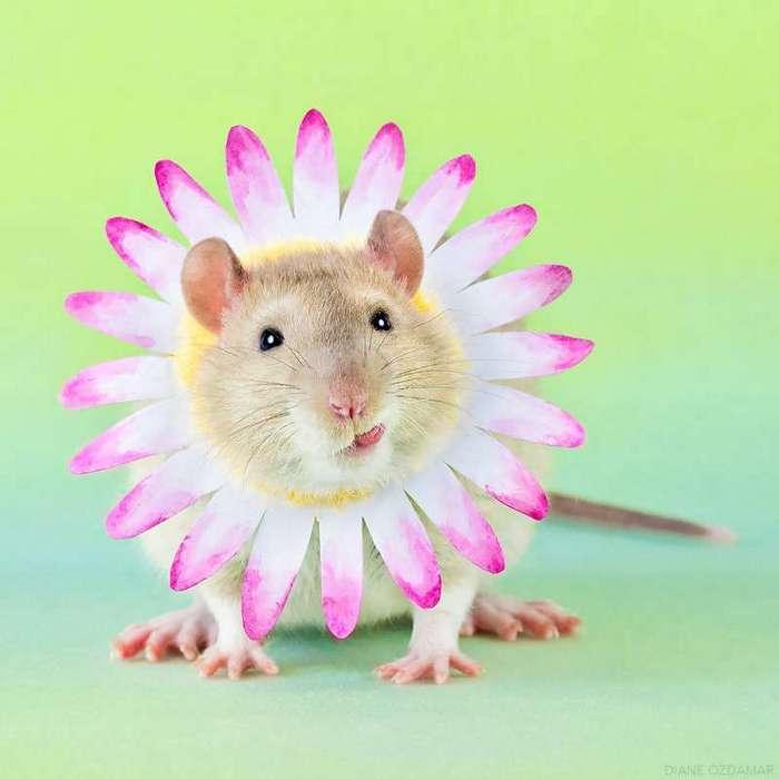 Очаровательные портреты, которые изменят ваше представление о крысах <br><br><b>14. <b>Цветочек </b></b><br><img class=