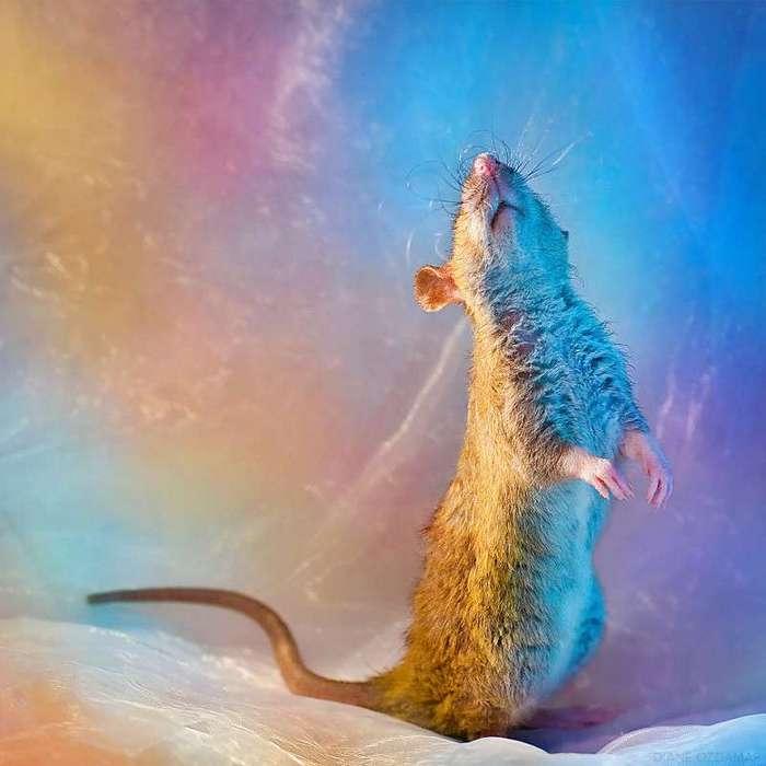 Очаровательные портреты, которые изменят ваше представление о крысах <br><br><b>18. <b>Балерина Фенрир </b></b><br><img class=