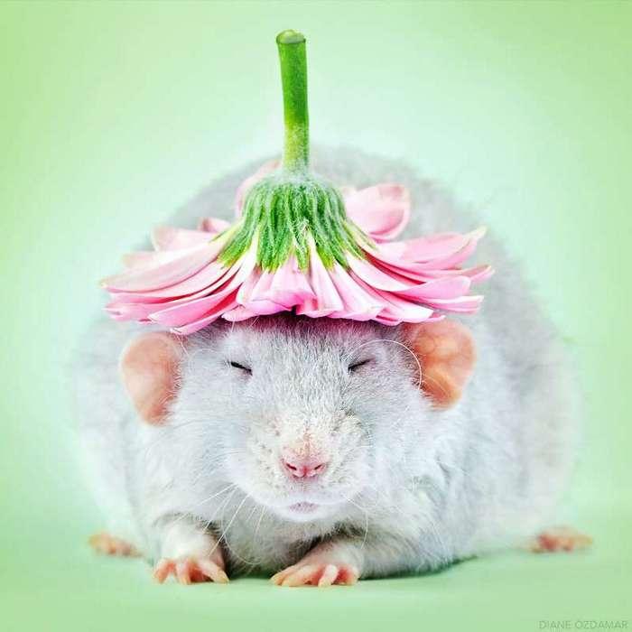 Очаровательные портреты, которые изменят ваше представление о крысах <br><br><b>2. <b>Херджан в шляпке </b></b><br><img class=