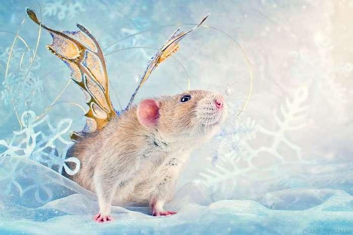 Очаровательные портреты, которые изменят ваше представление о крысах <br><br><b>20. <b>Зимняя фея Лизандер</b></b><br><img class=