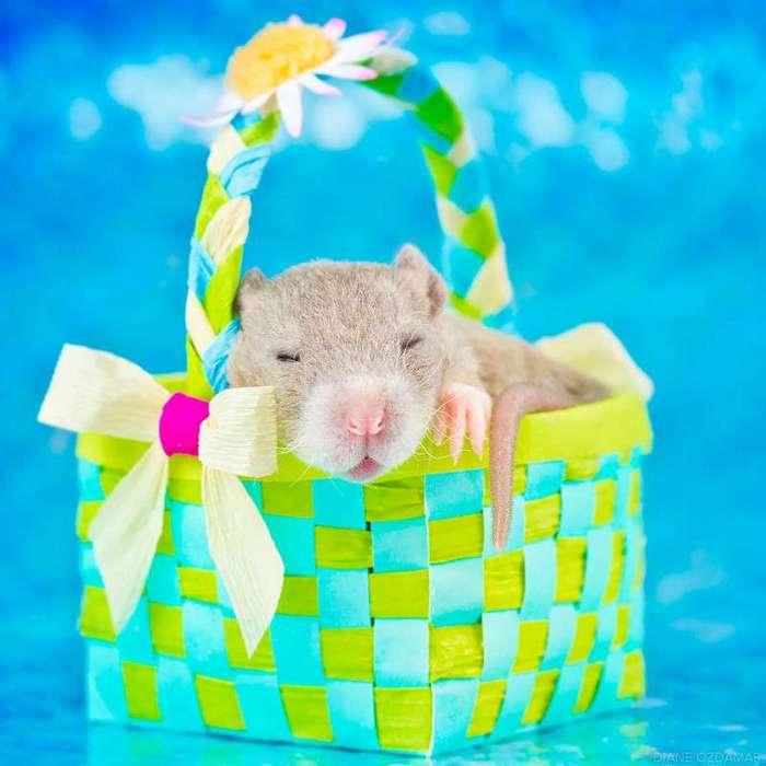 Очаровательные портреты, которые изменят ваше представление о крысах <br><br><b>22. <b>Сладкие сны </b></b><br><img class=