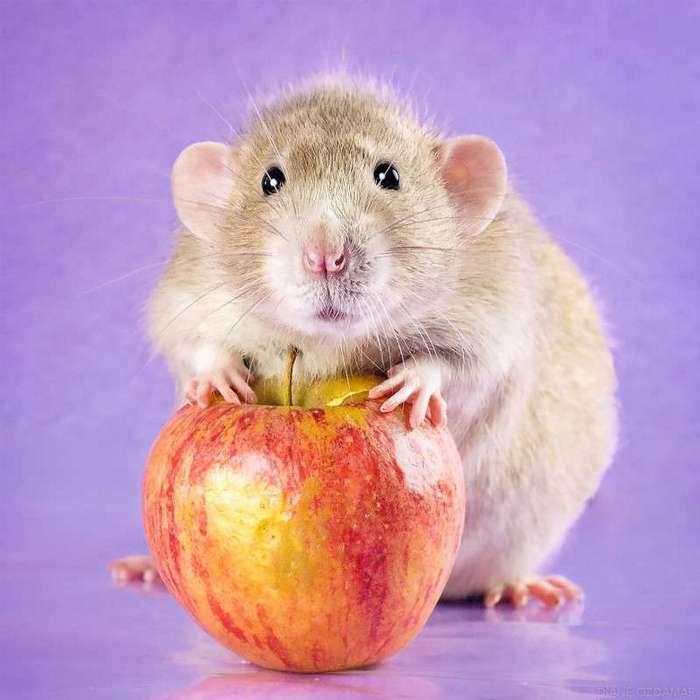 Очаровательные портреты, которые изменят ваше представление о крысах <br><br><b>24. <b>Лизандер с яблоком </b></b><br><img class=