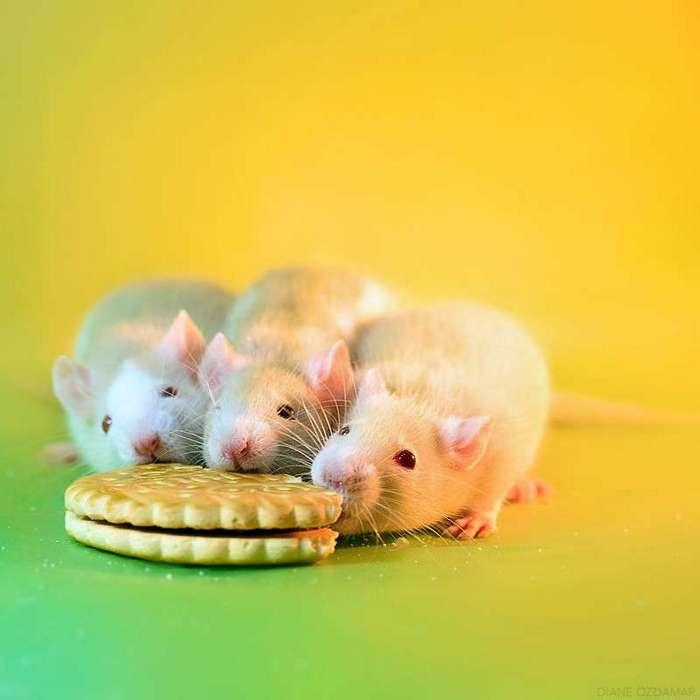 Очаровательные портреты, которые изменят ваше представление о крысах <br><br><b>26. <b>Завтрак</b></b><br><img class=