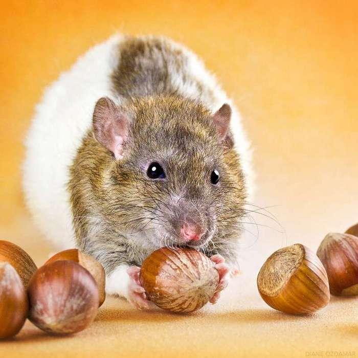 Очаровательные портреты, которые изменят ваше представление о крысах <br><br><b>28. <b>Воришка орехов </b></b><br><img class=