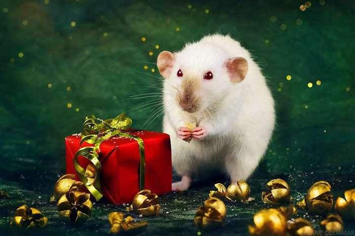Очаровательные портреты, которые изменят ваше представление о крысах <br><br><b>30. <b>Праздничная Каприс </b></b><br><img class=