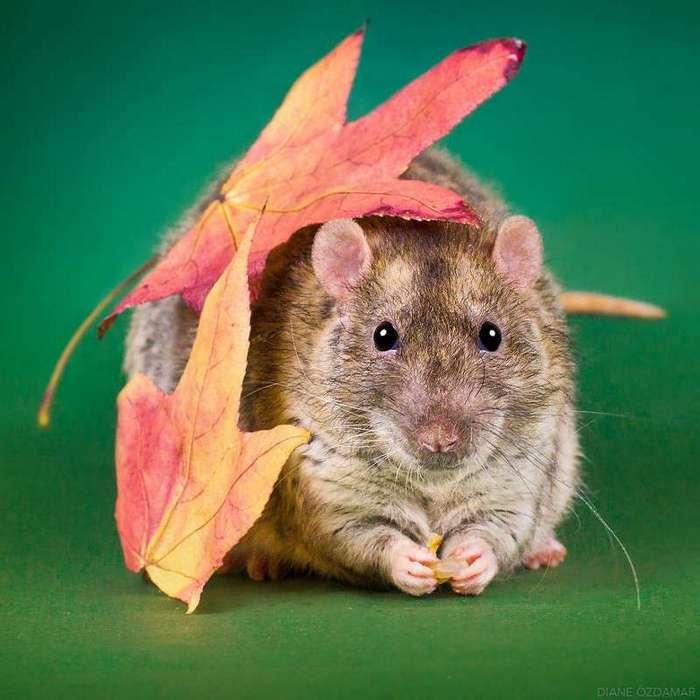 Очаровательные портреты, которые изменят ваше представление о крысах <br><br><b>32. <b>Осень</b></b><br><img class=