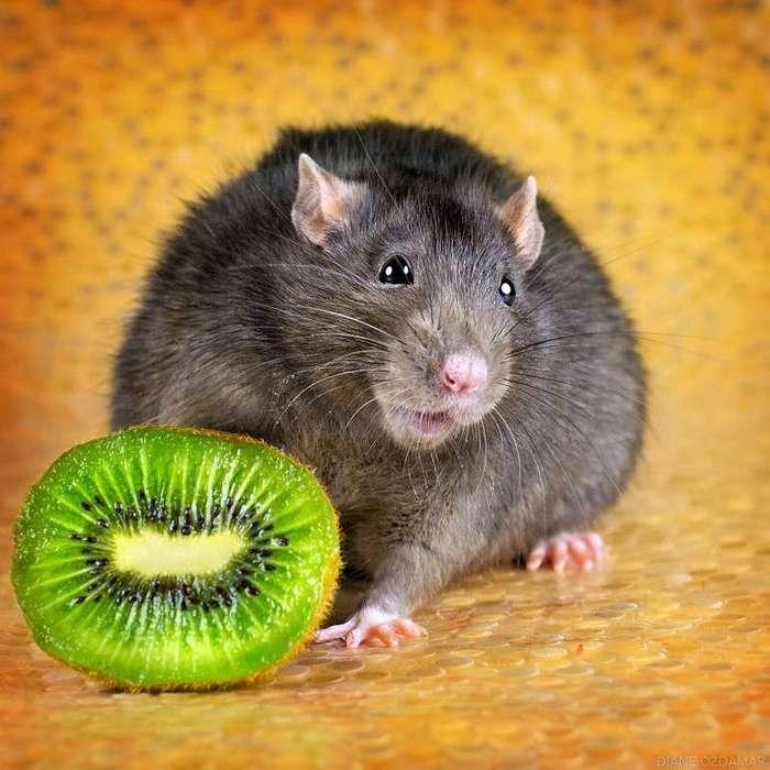 Очаровательные портреты, которые изменят ваше представление о крысах <br><br><b>34. <b>Вкусное киви </b></b><br><img class=