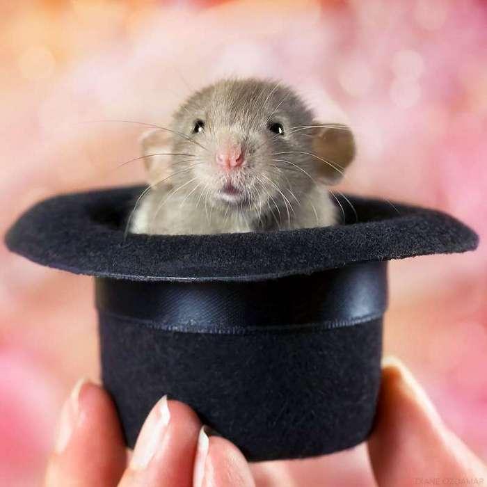 Очаровательные портреты, которые изменят ваше представление о крысах <br><br><b>4. <b>Вместо кролика </b></b><br><img class=