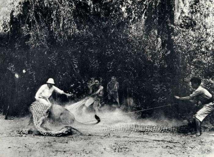 Неизвестная Африка. Фотографии 1870-1930 годов <br><br><b><b>Ловля льва для европейского зоопарка, 1930 год, Африка</b></b><br><img class=