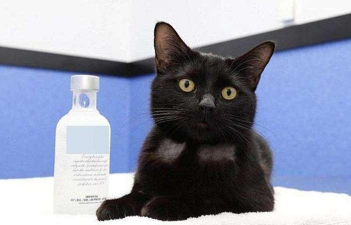 """Австралийские ветеринары с помощью водки спасли отравившуюся антифризом бездомную кошку  <br><br>Ветеринар Сара Кантер рассказала журналистам, что Типси без вмешательства врачей не прожила бы больше часа. Анализ крови показывал, что у кошки была острая почечная недостаточность. К счастью, ветеринары оказались со смекалкой.<br ><br><br ><br>""""Удача определённо улыбнулась кошке, потому что наши инспекторы принесли её в клинику буквально в последний момент. Противоядие для отравления антифризом — водка. Так получилось, что в вещах у одной из медсестёр была бутылка водки, поэтому мы смогли применить её как раз вовремя.""""<br /> <img class="""