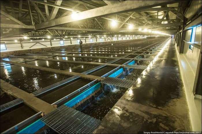 Почему в России не заканчивается красная икра <br><br>Выклюнувшихся мальков переводят в специальные промышленные садки, где происходит их дальнейшее выращивание и выкармливание. На первом этапе малька кормят специальными стартовыми кормами, состоящими из биомассы водородоокисляющих бактерий. <br ><br><br ><br>По мере роста, корма сменяются на комбикорма из рыбной и крилевой муки<br /> <img class=
