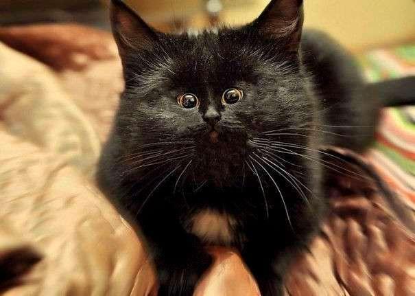 Новый тренд: коты с крошечными мордочками! Смешно или жутковато? <br><img class=