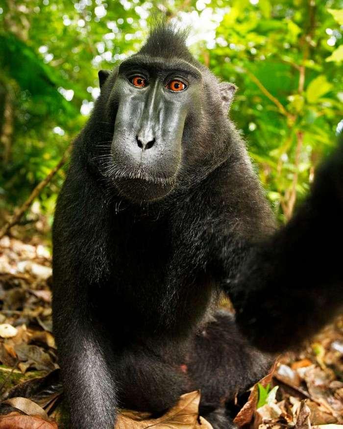 Фотограф разорился, судясь с обезьяной за авторское право <br><br>«Это не случайное поведение обезьяны, – сказал фотограф. – От меня потребовалось много знаний, большое упорство, десятый пот, терпение и столько мучений».<br /> <img class=
