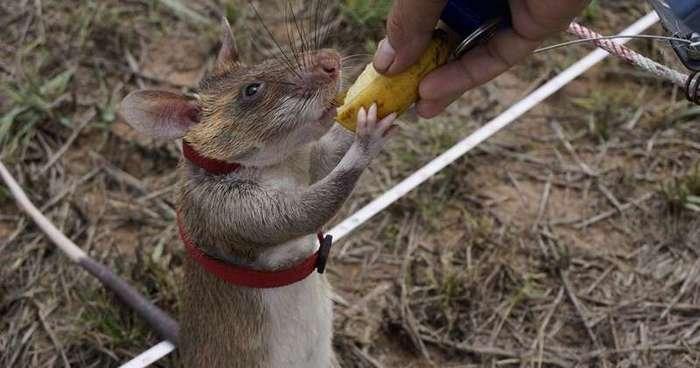 Крысы могут приносить пользу -4 фото-