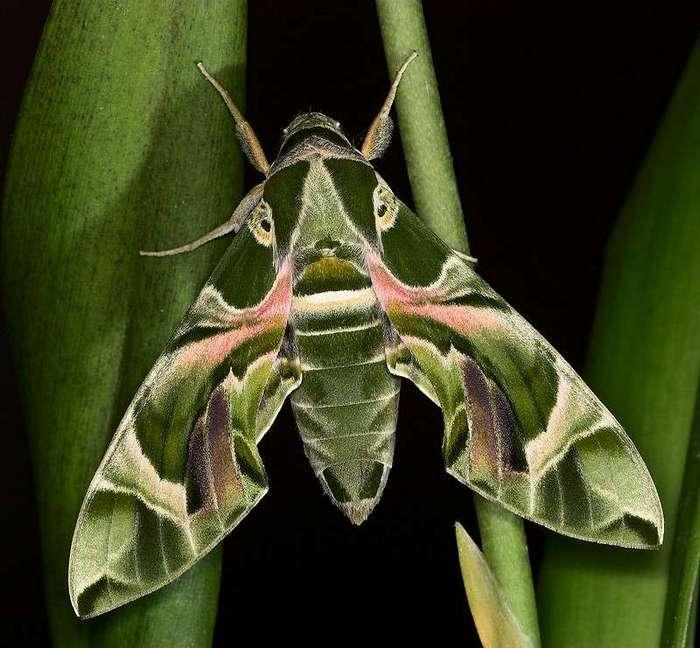 Самые необычные насекомые-6 фото-