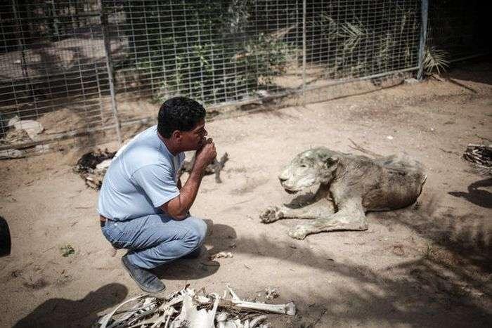 Спасение тигра из палестинского зоопарка (8 фото)