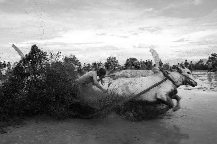 Экзотика из Индонезии - коровьи бега!-18 фото-