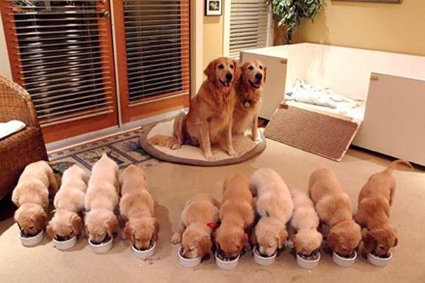 Собаки, которые гордятся своим чудесным потомством-24 фото-