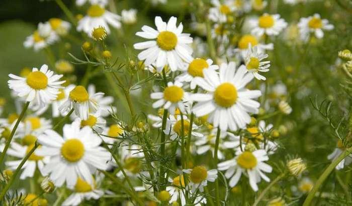 Растения-антисептики: рецепты народной медицины