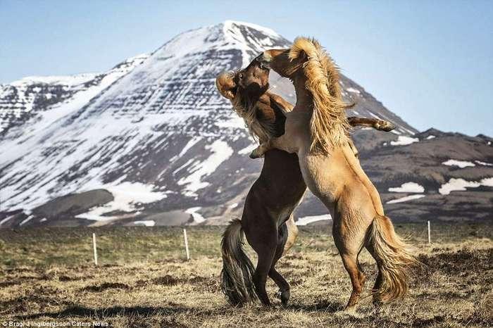 Грация диких лошадей на снимках исландского фотографа