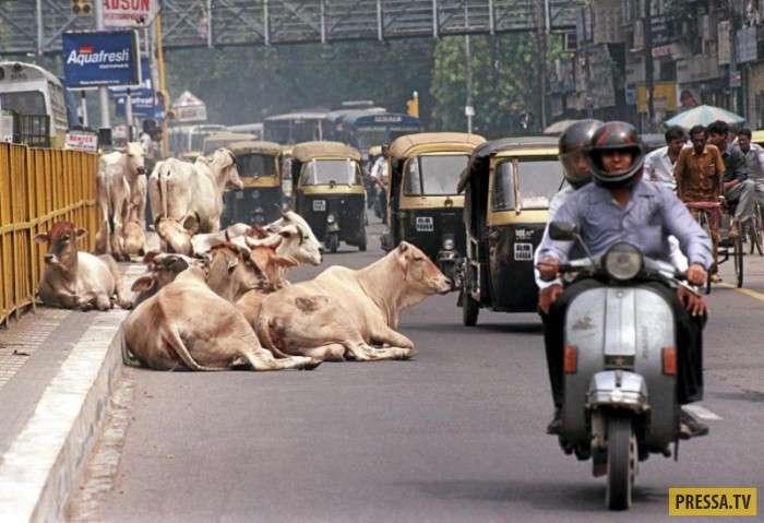 Большая проблема в Индии, 5 миллионов бездомных коров (8 фото)
