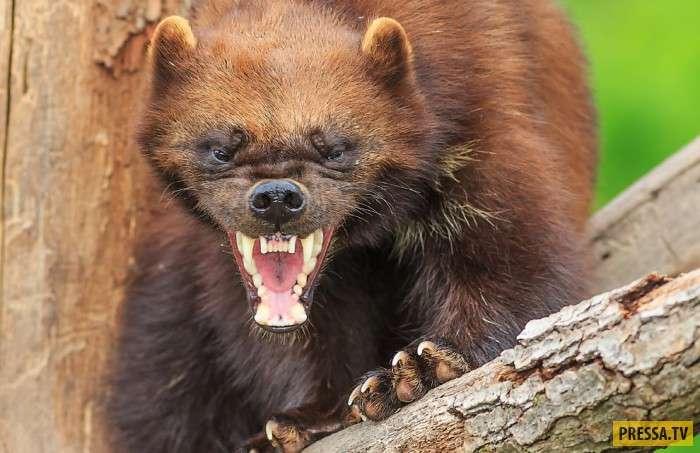 Самое жестокое и агрессивное животное в России (12 фото)