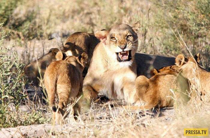 В Ботсване гид-проводник запечатлел, встречу львицами загулявшего льва (7 фото)