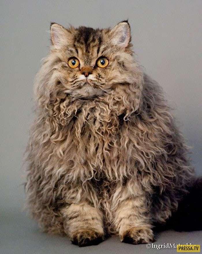 Кудрявые кошки сводят с ума весь интернет! (8 фото)