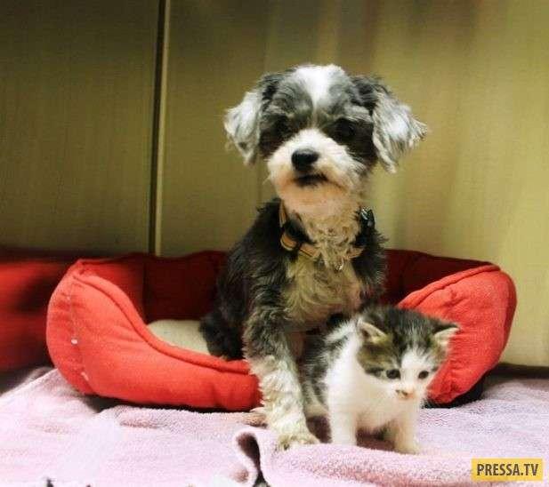 Собачка спасла и выкормила крохотного котенка (8 фото)